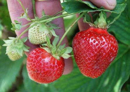berries-713056_1280