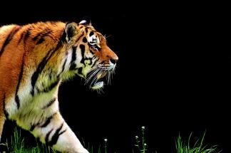 tiger-2320819_1280